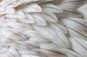 White Fluffy Feather Closeup poster