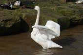 pic of trumpeter swan  - A trumpeter swan displays its wings in the water - JPG