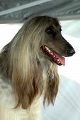 Afghan Hound Dog Head Portrait