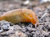 picture of inchworm  - a close up image of a little red slug slithering along the ground - JPG