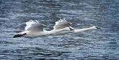 picture of trumpeter swan  - Pair of Trumpeter Swans  - JPG