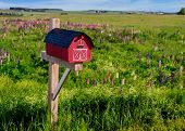 Mailbox amid a field of wild lupins in rural Prince Edward Island, Canada. poster
