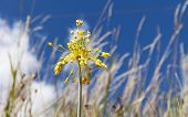 Close-up View Of Yellow Flower Allium Flavum On A Meadow, Allium Flavum, The Small Yellow Onion Or Y poster