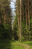 Footpath In Coniferous Forest, Sunny Summer Day poster