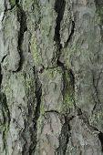 Pine Bark poster