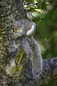 A Grey Squirrel Lays Out On An Apple Tree Limb, Clutching A Branch For Stability. poster