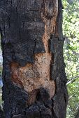 California With A Scorched And Charred Bark On A Tree. poster