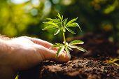 Man Farmer Hold Hand Bush Hemp Green Marijuana. Cannabis Plantation In Sunlight poster
