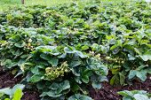A Large Field Of Strawberries In The Countryside. Bushes Berries Large And Well-groomed They Are Oft poster