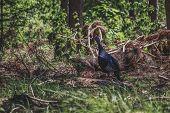 Turkey Hen Is Walking Through The Bush poster