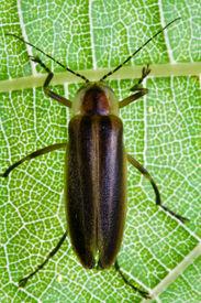 foto of lightning bugs  - Firefly on Leaf  - JPG