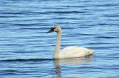 picture of trumpeter swan  - Trumpeter Swan  - JPG