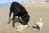 Chihuahuas And Beauceron On The Beach