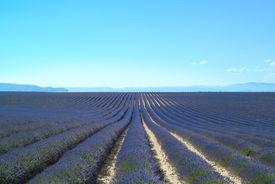 image of lavender field  - Lavender flower blooming scented fields in endless rows - JPG