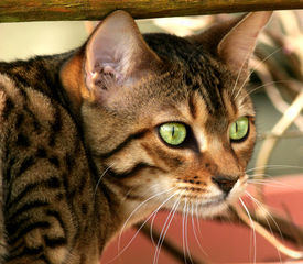 foto of tinkerbell  - the face of a bengali special breed kitten - JPG