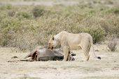 Lioness  Feed On The Gnu Spoils