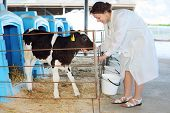 Woman in white feeds little cute calf in stall in big cow farm.