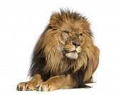 stock photo of lion  - Lion lying down - JPG