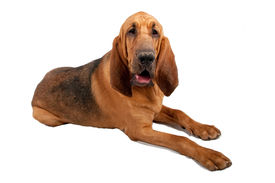 picture of bloodhound  - Happy Bloodhound dog laying on white background - JPG