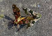 pic of hawk moth  - Pair of camouflage colors colours Mimas tiliae - JPG