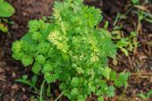 pic of cilantro  - This photo are cilantro - JPG