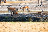 stock photo of eland  - Antelopes having a rest in a park outdoor - JPG