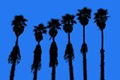 stock photo of washingtonia  - california palm trees washingtonia western surf flavour in US - JPG