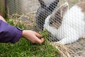 picture of girlie  - Girlie hand feeding multiple rabbits with grass outside during spring time - JPG