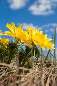 pic of adonis  - The Yellow flowers of Adonis  - JPG