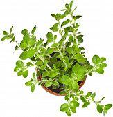 stock photo of origanum majorana  - fresh flavoring herbs oregano in brown flower pot top view isolated on white background  - JPG