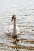 pic of trumpeter swan  - Swan in the wild - JPG