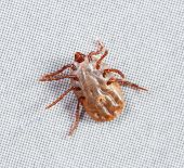 stock photo of ixodes  - Close up female rhipicephalus sanguineus on recycle paper background