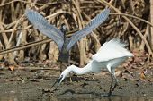stock photo of good-vs-evil  - A white Western Reef Heron (Egretta gularis) forcibly chasing off a dark Western Reef Heron ** Note: Soft Focus at 100%, best at smaller sizes - JPG