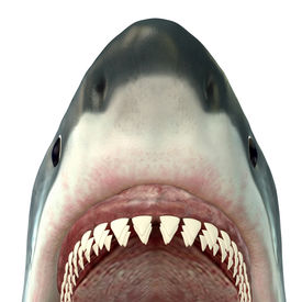 picture of school fish  - The Great White Shark is the largest predatory fish in the sea and grows new teeth throughout its life - JPG