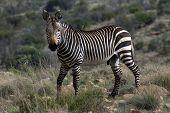foto of fynbos  - MountainZebra - JPG