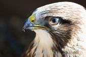pic of common  - Portrait of Buteo buteo bird of prey commonly know as Common Buzzard - JPG