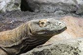 picture of komodo dragon  - Head of a Komodo dragon (Varanus komodoensis) ** Note: Soft Focus at 100%, best at smaller sizes - JPG