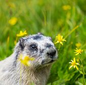 picture of marmot  - Marmots on meadow - JPG