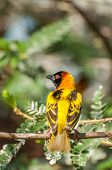 pic of sub-saharan  - A Masked Weaver Bird in a tree on an island in Lake Victoria Eastern Africa - JPG