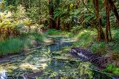 stock photo of redwood forest  - Scenic small creek in Redwoods forest near Rotorua - JPG