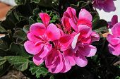 image of geranium  - Potted pink geranium plant lit by sunlight - JPG