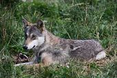 stock photo of wolf-dog  - grey wolf relaxing in the grass nature 
