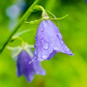 picture of harebell  - beautiful bluebell flowers with rain drops on a green blur background closeup - JPG
