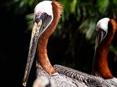 picture of playa del carmen  - Portrait of beautiful Brown Pelican in Playa del Carmen Mexico - JPG