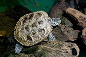 foto of tortoise  - the diamondback terrapin tortoise with nature background - JPG