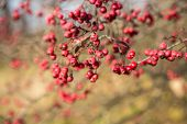 stock photo of rowan berry  - Rowan berries Mountain ash tree with ripe berry - JPG