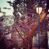 picture of lamp post  - Lighting street lamp post and blooming tree in the old city of Jerusalem in spring on Palm Sunday - JPG