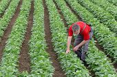 picture of soybeans  - Farmer or agronomist examine soybean plant in field - JPG