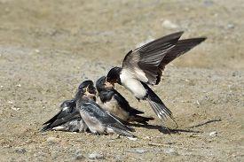 stock photo of swallow  - Barn swallow feeding juvenile swallows sitting on the ground - JPG