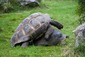 image of copulation  - Two big old copulating turtles on the grass - JPG